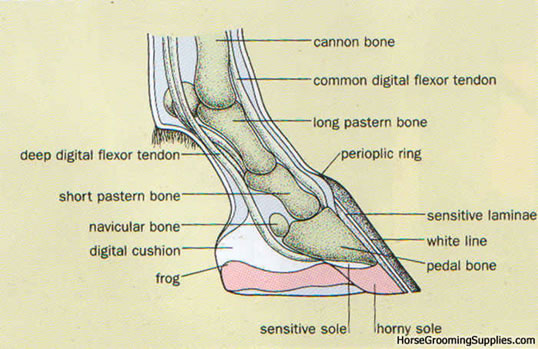 Diagram of the foot