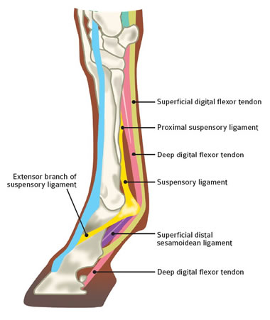 Diagram showing Suspensory ligament