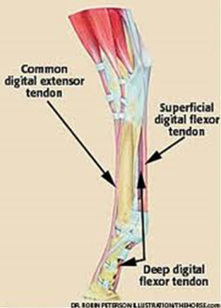 Illustration showing SDF tendon in the hind limb