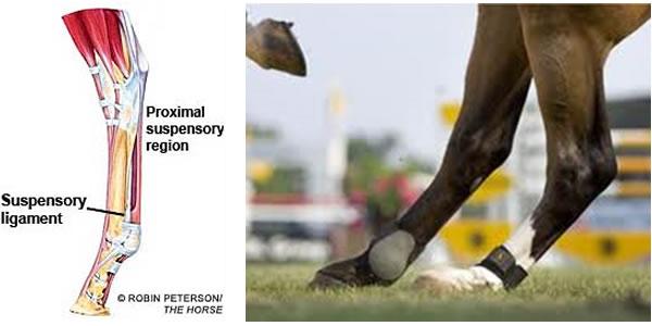 Superficial Digital Flexor Tendon | Suspensory Ligament | Annular ...
