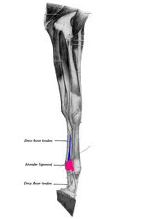 The annular ligament